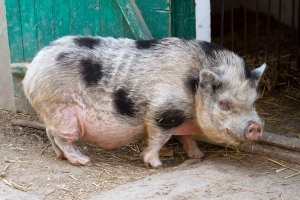 Ferm Big pink Vietnamese pot bellied pig.