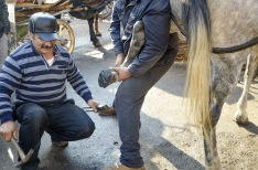 A Farrier nailing shoes on a horse.