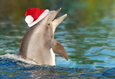 Funny Dolphin with santa cap. Merry Christmas and happy New Year